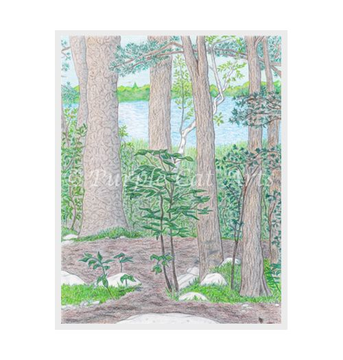 Summer Lake with Woods by Laura Cirra of Purple Cat Arts